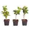 Syringa vulgaris collection