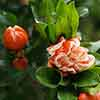 Flowering Ornamental Pomegranate
