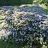 Hydrangea Magic Pillow