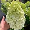 Hydrangea paniculata Hercules