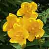 Potentilla Yellow