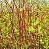 Cornus alba (Dogwood)