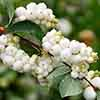 Snowberry Symphoricarpus albus