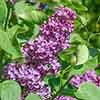Syringa vulgaris (Fragrant Lilac)