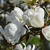 Magnolia Fairy Cream Blush