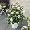 Camellia japonica 'Nuccio's Gem'