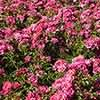 Groundcover Rose Flower Carpet Pink