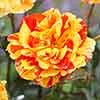 Rose 'Oranges & Lemons' (Papagena)