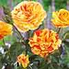 Rose Oranges & Lemons (Papagena)