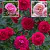Renaissance Perfumed Rose Collection