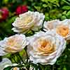 Rose Incredible Creamy
