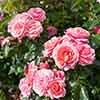 Set of 4 Rose Incredible