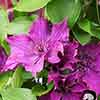 Clematis 'Guiding Promise' Boulevard