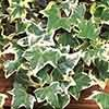 Hedera 'Glacier' 2L pot 1M tall
