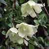 Clematis cirrhosa 'Wisley Cream'