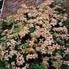 Clematis montana Marjorie 7cm