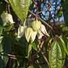 Clematis Evergreen Winter Beauty 9cm