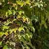 Parthenocissus Veitchii