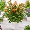 Campsis capreolata 'Tangerine Beauty'