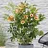 Campsis capreolata Tangerine Beauty