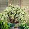 Set of 3 Evergreen Clematis 9cm