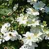 Large Flowered Clematis 'Sylvia Denny'