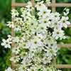 Evergreen Clematis Early Sensation