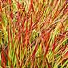 Imperata Red Baron - Blood Grass