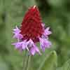 Red Hot Poker Primula - Primula vialii
