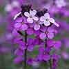Wallflower Erysimum 'Bowles Mauve'