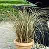 Ornamental Grasses collection