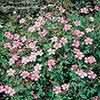 Geranium Wargrave Pink 3L