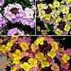 Erysimum Summer Skies Collection