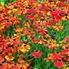 Helenium Sahins Early Flowerer Sneezeweed