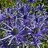 Eryngium planum Blue Hobbit
