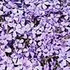 Creeping Moss Phlox subulata Collection