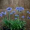 Agapanthus Pitchoune Scarery Blue