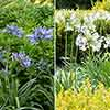 Agapanthus 'Pitchoune' collection