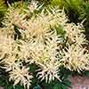 Astilbe japonica 'Washington'