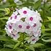 Phlox paniculata 'Eurpoa'