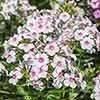 Phlox paniculata Eurpoa