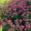 Achillea millefolium 'Cerise Queen'