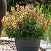 Agastache hybrida 'Apadana Orange'
