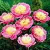 Complete Hardy Peony Collection