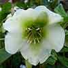Hellebore Pretty Ellen White