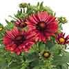 Gaillardia x grandiflora 'Arizona Red Shades'