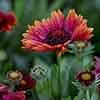 Gaillardia x grandiflora Arizona Red Shades