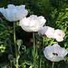 Oriental Poppy 'Checkers'