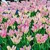 Tulip viridiflora Greenland