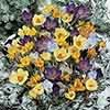 Mixed Species Crocuses